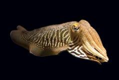 isolerad bläckfisk Royaltyfria Foton