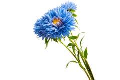isolerad blå aster royaltyfri foto