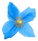 isolerad blå blomma royaltyfri fotografi