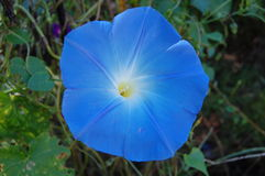 Isolerad blå blomma för morgonhärlighet Royaltyfria Foton