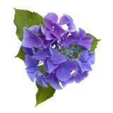 Isolerad blå vanlig hortensia Arkivbilder