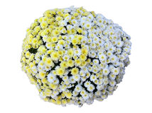 Isolerad blandad bukett för krysantemum Royaltyfri Bild