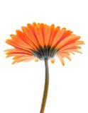isolerad blomma Royaltyfria Foton