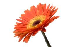 isolerad blomma Arkivfoto