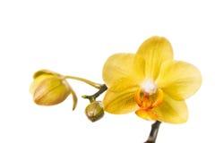Isolerad blomma av den gula orkidén Royaltyfria Bilder