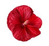 Isolerad blomma av ett djupt - röd hibiskus Royaltyfri Fotografi