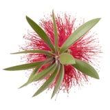 isolerad blomma för flaskborste royaltyfri bild