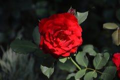Isolerad blomma för röda rosor för makro Arkivbild