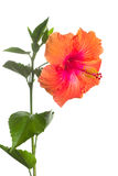 isolerad blommahibiskus Royaltyfria Foton