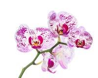 Isolerad blommande brokig orkidé Royaltyfri Bild