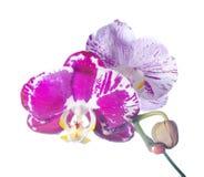 Isolerad blommande färgglad orkidé, bakgrund Royaltyfria Foton