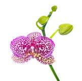Isolerad blommande lila finnig orkidé Royaltyfri Foto