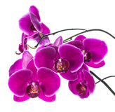 Isolerad blommande purpurfärgad orkidé Royaltyfria Foton