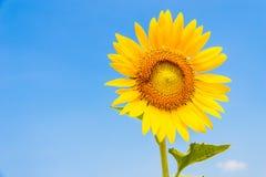Isolerad blommande solros Royaltyfria Bilder