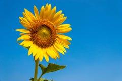 Isolerad blommande solros Royaltyfri Bild