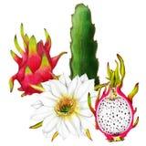 Isolerad botanisk illustration av drakefrukt stock illustrationer