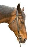 isolerad brun head häst Royaltyfri Foto