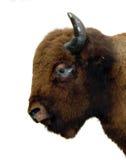 isolerad buffel Fotografering för Bildbyråer