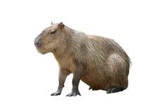 Isolerad Capybara Arkivfoton