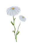 isolerad chamomile stock illustrationer