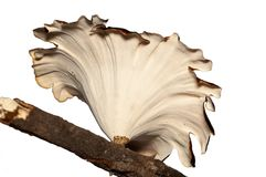 isolerad champinjontreewhite Royaltyfri Bild