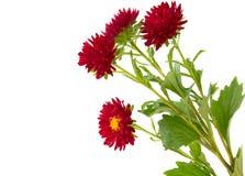 isolerad chrysanthemum Royaltyfri Bild