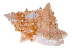 Isolerad conch   Arkivbilder