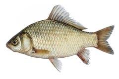 Isolerad crucian karp, en sort av fisken från sidan Levande fisk med flödande fena Lilla fiskar arkivfoton