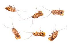 Isolerad död kackerlacka Arkivbilder