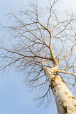 Isolerad död tree arkivbild