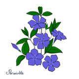 Isolerad dekorativ beståndsdelvintergrönabukett Blått blommar vincaen Royaltyfri Fotografi