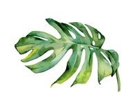 Isolerad deocration för blad för grön växt för vattenfärg Arkivbild