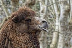 Isolerad Dromedar kamel arkivbild