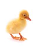 isolerad duckling Arkivbilder
