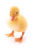 isolerad duckling Arkivbild