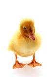 isolerad duckling Fotografering för Bildbyråer
