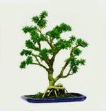 Isolerad dvärg för bonsaiträdMurraya paniculata Royaltyfria Bilder