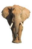 isolerad elefant Arkivfoton