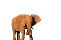 isolerad elefant Royaltyfri Foto