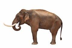 isolerad elefant royaltyfri fotografi