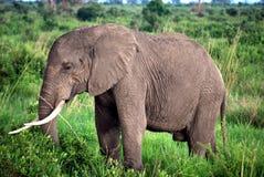 isolerad elefant Royaltyfria Foton