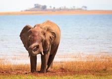Isolerad elefant bredvid sjökaribu med den krullade stammen Fotografering för Bildbyråer