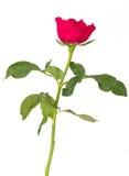 Isolerad enkel röd ros Royaltyfria Bilder