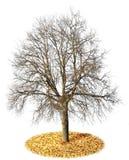 isolerad ensam tree för leaves Arkivfoton