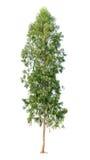 Isolerad eucalyptustree på vit bakgrund arkivfoto