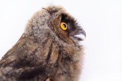 Isolerad fågeluggla Arkivfoto