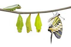 Isolerad för swordtailfjäril för fem stång cirkulering för liv (antiphatespom royaltyfri bild