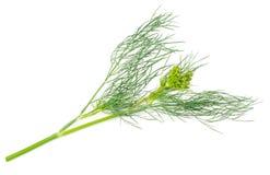isolerad fennel Fotografering för Bildbyråer