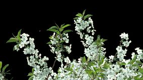 Isolerad filial av det körsbärsröda trädet med vita blommor lager videofilmer