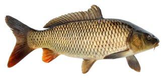 Isolerad fisk för Crucian karp Sidosikt, lyftta fena isolerat fotografering för bildbyråer